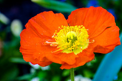Annemone (KPPG) Tags: anemone 7dwf flora flower blume orange yellow gelb