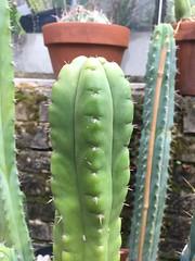 Trichocereus peruvianus monstrose (djnionas) Tags: trichocereus