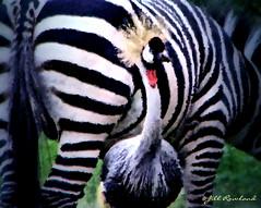 Friends in Tanzania (Jill Rowland) Tags: wildlife africa zebra bird tanzania tourism travel canonphoto artisticphotography