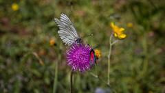 Let´s drink together! (markus364) Tags: blume flower butterfly schmetterling widderchen baumweisling natur alpen tirol tyrol alps tier insekt insect