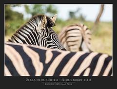 Zebra di Burchelli - Equus burchellii @Kruger National Park South Africa (PhotoTour Lanzarote.com) Tags: sudafrica krugernationalpark southafrica zebradiburchelliequusburchellii massimopisettaphotography massimopisetta pisetta canon wwwmassimopisettaphotographycom krugernationalparksouthafrica wwwphototourlanzarotecom phototourlanzarote