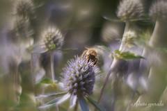 Nectar seeking Bee ... (gporada) Tags: bee biene hohenheimgardens helios m42 experiment ilce7m2 bokeh swirly silky smooth softness sonya7ii helios44m4258mm focussinghelicoid