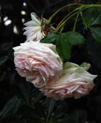 il peso della maturità (fotomie2009) Tags: flower fiore flora fleur flor rosa rose pierre de ronsard