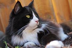 Igor (morbidtibor) Tags: cat cats kat katten poes poezen kitten pussycat maincoone norwegianforestcat