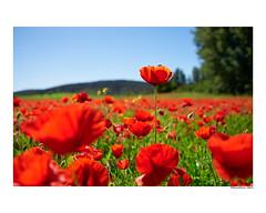 (david Ramalleira) Tags: davidramalleiraphotography davidramalleira nikon macro macrophotography flores flowers flower nature naturaleza natureart naturephotography naturesfinest naturesart natura