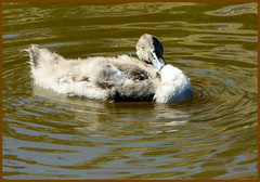 Sorry folks, great party last night but still feeling 'fluffy' ! (Country Girl 76) Tags: cygnet young swan ruffled canal skipton wildlife bird water ripples reflections leeds liverpool