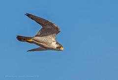 Peregrine male (Steven Mcgrath (Glesgastef)) Tags: peregrine prey photography glasgow scotland scottish bird birdofprey raptor male falcon flight uk urban wildlife wild