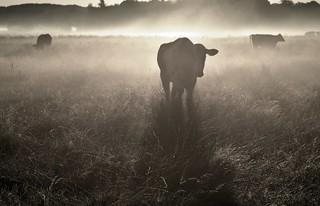 Kühe zu zählen; Bergenhusen, Stapelholm (32)