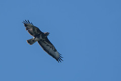 """""""Keee-aiy"""" (Tim Melling) Tags: buteo common buzzard calling flight call derbyshire timmelling"""