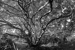 l'arbre de la vie (alestaleiro) Tags: árbol tree arvre árvore bosque alejandroolivera alejandrooliveraphotography alestaleiro