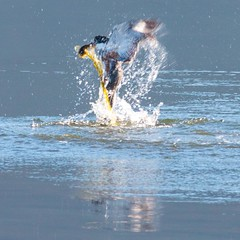 Belter Kingfisher Catches Sculpin (Michelle de Vries) Tags: belted kingfisher bird wildlife sigma150600
