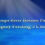 Osprey Feeding Chicks 2018.7.22 thumbnail