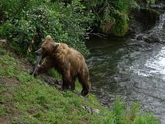 DSC07551 (jrucker94) Tags: alaska katmai katmainationalpark nationalpark bear bears grizzly grizzlybear brooksriver nature outdoors