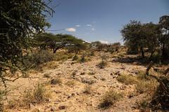 Tanzania102 (Massimo Equestre'pictures) Tags: africa tanzania leone zebra safari giraffa serengeti