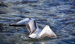 Splash... ! (Diegojack) Tags: morges vaud suisse d7200 nikon nikonpassion oiseaux mouettes plongée