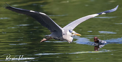 Wildlife at St. James's Park (rvk82) Tags: 2018 birds england june june2018 london nikkor200500mm nikon nikond850 rvk rvkphotography raghukumar raghukumarphotography stjamesspark wildlife rvkonlinecom rvkphotographycom rvkphotographynet unitedkingdom gb