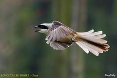 Improved : LONG TAILED  SHRIKE adult - [ Qinglong Lake, Chengdu,  China ] (tinyfishy's World Birds-In-Flight) Tags: lanius tephronotus grey backed shrike