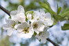 spring (Camy487) Tags: flower macro spring detail light green white soft mood scene tree nature leaf leaves flowers sky effect bokeh clouds day exterior outside nikon