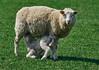 Looking Sheepish At Ewe (paulinuk99999 (lback to photography at last!)) Tags: paulinuk99999 sheep ewe lamb baby mammal british farm animal suckling milk young green field spring 2018 sal70400g countryside