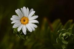 Osmitopsis asteriscoides (galanhsnu) Tags: asteraceae omsitopsis osmitopsisasteriscoides southafrica kogelberg