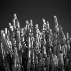 infrared cacti. san marino, ca. 2018. (eyetwist) Tags: eyetwistkevinballuff eyetwist cacti cactus huntington desert gardens sanmarino pasadena losangeles california mamiya 6mf 75mm kodak infrared ir hie 400 bw black white mamiya6mf mamiya75mmf35l kodakhighspeedinfraredhie ishootfilm ishootkodak analog analogue film mamiya6 square 6x6 mediumformat 120 primes filmexif filter bw091 deepred red 29 091 iconla xtol aerial recon epsonv750pro lenstagger los angeles la huntingtonlibrary garden spiny sharp point tall