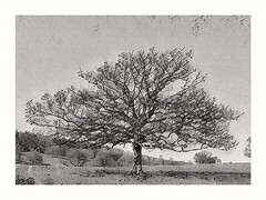 Oak Tree (Develew) Tags: tree oak art sketch chatsworthestate chatsworthpark derbyshire derbyshiredales