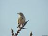 Meadow pipit (Corine Bliek) Tags: pieper pipits bird birds birding nature natuur wildlife vogel vogels passerine grass grassland anthuspratensis