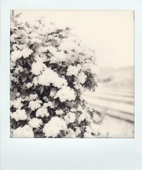roses at depot (EllenJo) Tags: polaroid polaroidoriginals impossibleproject 2018 ellenjoroberts sx70 april2018 instantfilm ladybanks washedout overexposed roses