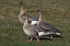 Pink Footed Geese. (stonefaction) Tags: pink footed goose geese birds nature wildlife guardbridge fife scotland eden estuary