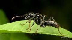 Hairy Panther Ant, Neoponera sp. (Ecuador Megadiverso) Tags: andreaskay ant ecuador formicidae hairypantherant hymenoptera neoponeravillosa neoponerasp neoponera