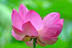 Lotus Flower (misi212) Tags: lotus flower botanical garden