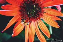 Pollen Freak (Hi-Fi Fotos) Tags: bee flower orange pollen nature plant garden buzz bumble insect outdoors nikkor 105mm micro nikon d7200 dx hififotos hallewell