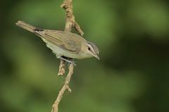 Red-eyed Vireo (Greg Lavaty Photography) Tags: redeyedvireo vireoolivaceus texas july brazosbend statepark ftbendcounty birdphotography outdoors bird nature wildlife