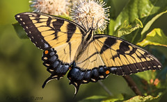 Swallowtail Butterfly (ksharp2) Tags: nectar pollen pollination butterfly swallowtail swallowtailbutterfly plant flower flowers nature summer beautiful beauty yellow green blue