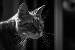 Monsieur Moustache (Delphine Wild) Tags: chat cat nb bw fripon animal félin tigré portrait observation