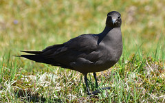 Birds 55 (orientalizing) Tags: animals arcticskua birds darkarcticskua desktop featured highlands isleofhanda scotland