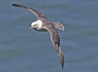 FULMAR...Bempton...Heat haze and harsh sunlight made photography difficult.