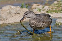 Gadwall (Male) (John R Chandler) Tags: anasstrepera animal bird duck gadwall gloucestershire male slimbridge unitedkingdom wwtslimbridge wildfowl uk gb