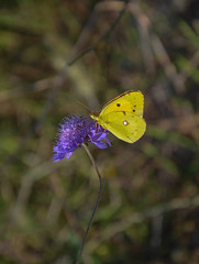 Yellow butterfly posing (brancatiarianna) Tags: yellow butterfly flower floral flowers bokeh effect sunnyday summer season nature natural natur toscana uncontaminated place pointofview photo pic peace colorful colors contrast animals little lights light beautiful magic moments inlove nikkor lens new photos nikon italy