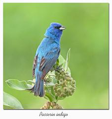 Passerin indigo / Indigo Bunting  153A8464 (salmo52) Tags: oiseaux birds salmo52 alaincharette passerinindigo indigobunting bruant strosaire passerinacyanea passériformes cardinalidés cardinalidae