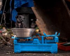 What's is my weight? (shravann93) Tags: nikon india street streetphoto streetphotography dog puppy asia colours iamnikon nikond700 50mmf18