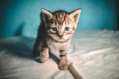 Gordo (DanielDuron) Tags: cat kitty kitten kittens pussycat animal feline nikon d5500 18mm 55mm