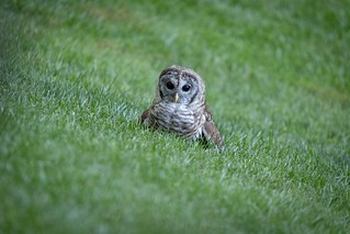 Barred Owl- juvenile (Strix varia)