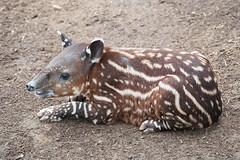 Young Tapir. (LisaDiazPhotos) Tags: young tapir 1 month old lisadiazphotos sdzsafaripark sdzoo sdzsp sandiegozoo sandiegozooglobal sandiegozoosafaripark