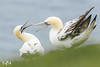 Gannets at Unst (Shetland) (Renate van den Boom) Tags: 08augustus 2017 europa grootbrittannië jaar janvangent maand renatevandenboom shetland unst vogels