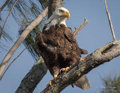Pygargue à tête blanche / Bald Eagle (sergeforcier) Tags: pygargueàtêteblanchebaldeagle