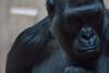 Almost Human?! (2/2) (jkiter) Tags: deutschland gorilla münsterland affe tier säugetier münster natur allwetterzoomünster animal germany mammal nature monkey