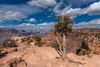 Lone tree on the South Rim of the Grand Canyon, Arizona (diana_robinson) Tags: lonetree southrim grandcanyon grandcanyonnationalpark puffclouds rockformations tree canyon arizona