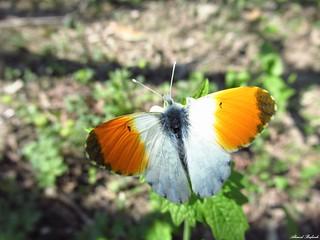 Butterfly 1643