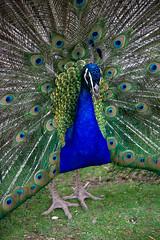 Blue Peafowl (MW // Photography) Tags: animal bird zoo blue peafowl blauer pfau eyes